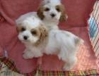 出售纯种英国可卡幼犬 美国可卡犬 大耳朵可卡犬幼犬活体宠物狗