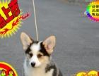 精品纯种柯基犬幼犬出售健康保障疫苗齐全