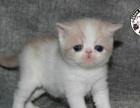 优惠出售乳白梵文母加菲猫幼猫