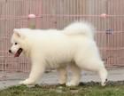 精心养殖 纯种萨摩耶犬 公母均有 包犬瘟细小