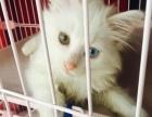 白色长毛鸳鸯眼狮子猫六百元