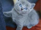 山西太原纯种包子脸蓝猫怎么买