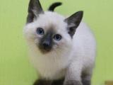 广州本地猫舍暹罗猫出售