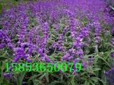 万鼎花卉出售优质青州鼠尾草 地被鼠尾草批发