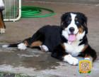 精品纯种伯恩犬,优选培育强健幼犬,确保健康