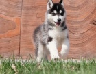 绵阳哪里出售哈士奇犬 绵阳哈士奇犬多少钱