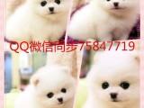 广州狗场倒闭三百低价各种狗狗包健康纯种博美泰迪吉娃娃签协议