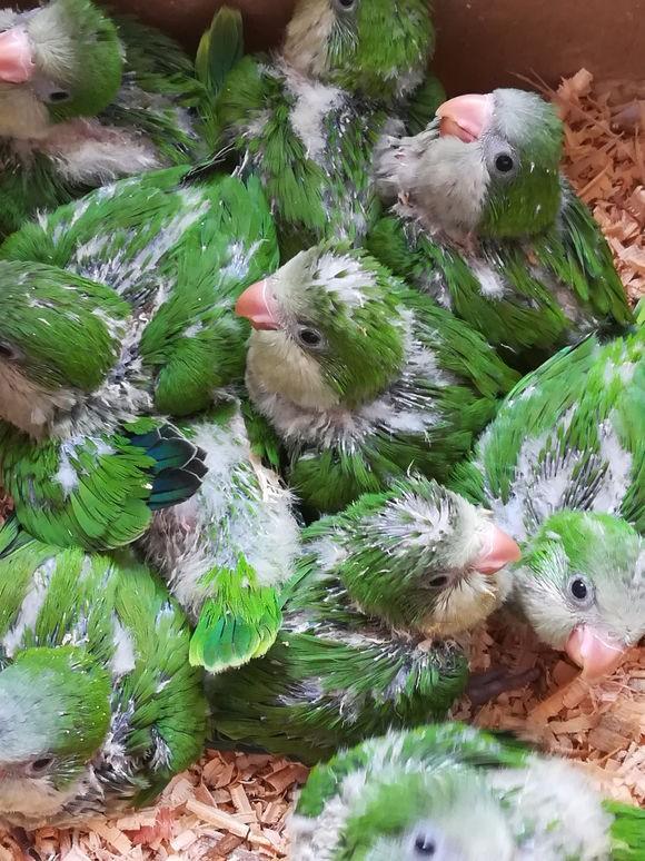 转让蓝和尚鹦鹉 绿和尚鹦鹉幼鸟 会说话 包健康