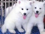 萨摩耶犬培育基地-高端萨摩耶宝宝