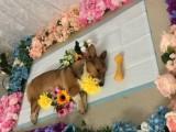 宠物猫死了处理 宠物殡葬