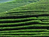 茶食家:100%保留了绿茶中的营养成分与微量元素