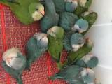 和尚鸚鵡 亞歷山大鸚鵡 金太陽鸚鵡 鷯哥 吸蜜鸚鵡 灰鸚鵡