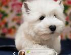 珠海哪里有卖西高地犬,珠海西高地犬一只多少钱