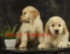 东莞自家繁殖金毛幼犬,血统纯正,品相好,毛量足,骨骼壮