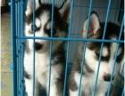 出售哈士奇雪橇犬,狗狗公母都有,纯种繁殖健康