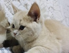 英国短毛猫乳色4500元 父母都是单C血统。