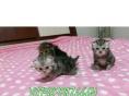 出售美国短毛猫,活泼可爱