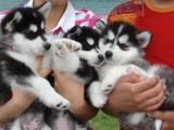 郑州最大狗场 特价直销世界名犬 哈士奇犬等品种三百起