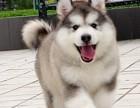 赛级阿拉斯加 狗狗保证健康纯种 疫苗做好了 有多条挑选