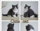 本地猫舍售纯种英国短毛 蓝白 疫苗已做 可上门看猫