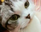 哪里有卖波斯猫 淘宝店铺搜:双飞猫