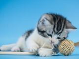 純種美短貓虎斑美短加白起司美國短毛貓