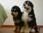 哪里有阿拉斯加的犬舍 阿拉斯加成年多大 阿拉斯加好养吗