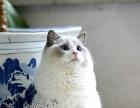 【钟爱宠物】本猫舍布偶种公对外借配并有小布偶出售