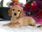 昆明 售自家繁殖2-4个月可卡犬 疫苗齐全包纯种包健康