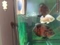 8成新1.8米底滤干湿分离鱼缸出售