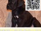 哪里出售大丹犬 纯种大丹多少钱