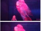 罗汉鱼鱼彩虹