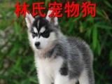 纯种哈士奇雪橇犬出售 清远哪里有卖哈士奇 林氏宠物狗