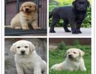 在哪里买纯种的格力幼犬 格力幼犬最低多少钱
