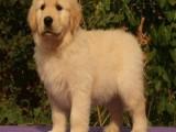 佛山哪里有卖健康金毛犬 大头版纯种金毛实体狗场疫苗做齐签协议