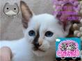 暹罗猫哪里有卖 小暹罗猫找新家,便宜不挣钱 小米猫苑