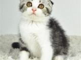 陕西安康美短加白猫价钱