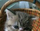 刚满月加菲猫