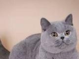 蓝猫蓝白渐层银点布偶弟弟妹妹