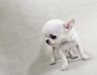 自家大狗生的一窝吉娃娃可以来家里看大狗品相