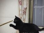 纯种英国短毛猫,英短宠物猫,纯黑色弟弟,英短猫