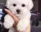 可爱的小迷你比熊犬是自己喂养的 白色无杂毛才是很好 3