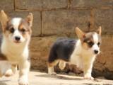 宜昌哪里有卖高品质柯基幼犬 品相超好 骨骼奇佳 随时上门看狗