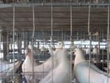 哪里有卖肉鸽的多少钱一只
