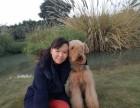 广州双赛级血统活体宠物狗家养 纯种万能梗犬幼犬出售