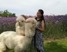 江苏太仓羊驼出租-小羊驼出租-草泥马出租-驼羊出租展览暖场