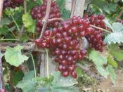 一边倒果树研究所专注葡萄苗批发|黑色甜菜