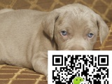 鞍山哪里出售威玛猎犬威玛猎犬多少钱威玛猎犬图片