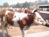 大理西门塔尔肉牛犊批发价格