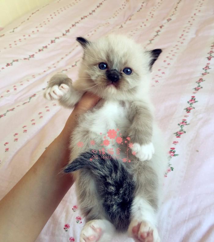 韶关哪里有布偶猫卖 韶关哪里有猫舍